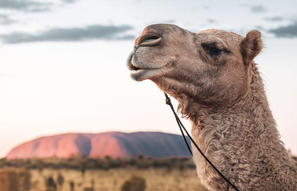 3 Camel Tours